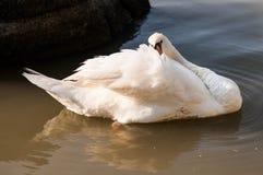 Biały łabędź Zdjęcia Royalty Free