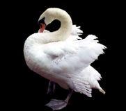 Biały łabędź Obrazy Royalty Free