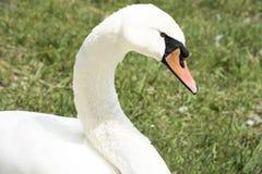 Biały łabędź Fotografia Royalty Free