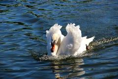 Biały łabędź Obrazy Stock