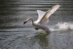 Biały łabędź Zdjęcia Stock