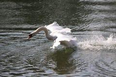Biały łabędź Obraz Stock