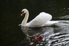 Biały łabędź dwa zdjęcie royalty free