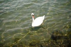 Biały łabędź na Balaton jeziorze Zdjęcia Royalty Free