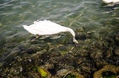 Biały łabędź na Balaton jeziorze Zdjęcie Royalty Free