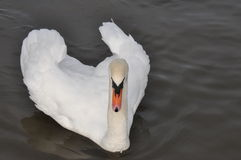 Biały łabędź na ciemnej wodzie fotografia royalty free