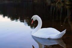 Biały łabędź na jeziorze zdjęcie royalty free