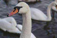 Biały łabędź na jeziorze Zdjęcia Royalty Free