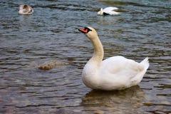 Biały łabędź na rzece Obrazy Stock
