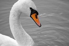 Biały łabędź na stawie Fotografia Royalty Free