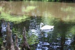 Biały łabędź na stawie z cyprysowymi kolanami zdjęcia stock