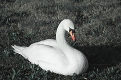 Biały łabędź na trawie zdjęcie stock