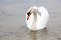 Biały łabędź na wody powierzchni. Zdjęcie Royalty Free