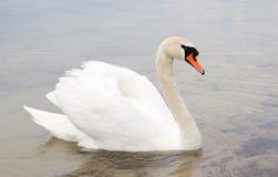Biały łabędź na wody powierzchni. Fotografia Stock