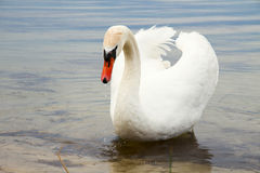 Biały łabędź na wody powierzchni. Zdjęcia Stock