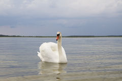 Biały łabędź na wody powierzchni. Obrazy Stock