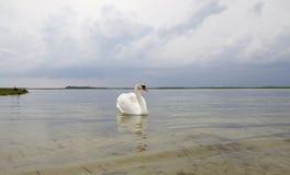 Biały łabędź na wody powierzchni. Obraz Royalty Free