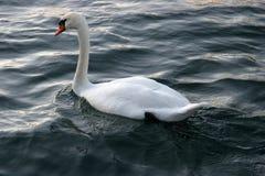 Biały łabędź na wodzie obrazy royalty free