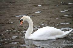 Biały łabędź na wodzie Obrazy Stock