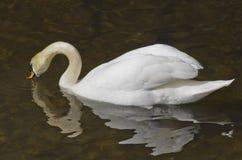 Biały łabędź na wodzie Fotografia Royalty Free