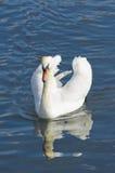 Biały łabędź na wodzie Zdjęcie Stock