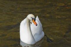 Biały łabędź na wodzie Zdjęcie Royalty Free