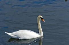 Biały łabędź na wodzie Zdjęcia Stock
