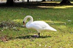 Biały łabędź na zielonej trawie zdjęcie stock