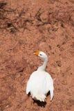 Biały łabędź na ziemi brązie Fotografia Royalty Free