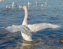 Biały łabędź na zimy morzu Zdjęcie Stock