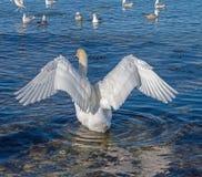 Biały łabędź na zimy morzu Zdjęcia Royalty Free