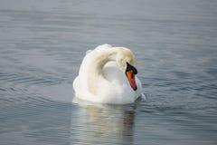 Biały łabędź pływa w jeziornej wodzie Zdjęcia Royalty Free