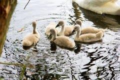 Biały łabędź pływa z dziećmi na jeziorze Zdjęcie Stock