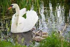 Biały łabędź pływa z dziećmi na jeziorze Zdjęcie Royalty Free