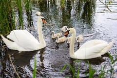 Biały łabędź pływa z dziećmi na jeziorze Fotografia Royalty Free