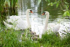Biały łabędź pływa z dziećmi na jeziorze Obraz Stock