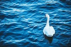 Biały łabędź unosi się na rzece na fala, wiosna Zdjęcia Stock