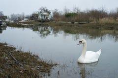 Biały łabędź w błotnistej zatoczce Fotografia Royalty Free