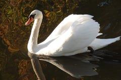 Biały łabędź w spadku w holandiach fotografia stock