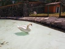 biały łabędź w stawie zoo obrazy stock
