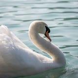 Biały łabędź z nastroszonymi skrzydłami Fotografia Stock