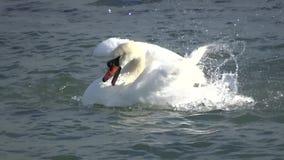 Biały łabędzi kąpanie zbiory wideo