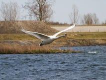 Biały łabędzi latanie Obraz Royalty Free