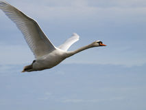 Biały łabędzi latanie Zdjęcia Royalty Free