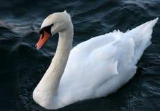 Biały Łabędzi Niemy łabędź zdjęcie royalty free