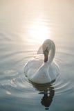 Biały łabędzi ptak na jeziorze przy zmierzchem Obrazy Stock