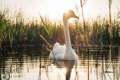 Biały łabędzi ptak na jeziorze przy zmierzchem Obraz Stock