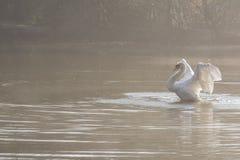 Biały łabędzi rozciąganie zdjęcia royalty free