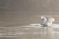 Biały łabędzi rozciąganie obraz royalty free