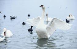 Biały Łabędzi stru Zdjęcie Royalty Free